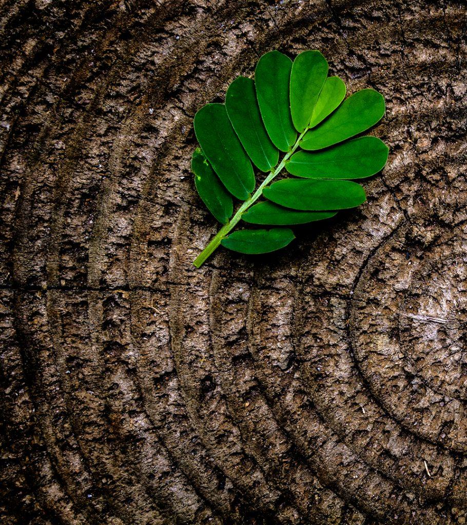Årsringar på ett avkapat trä med ett löv på.